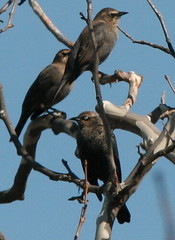 Rusty Blackbirds (Euphagus carolinus)