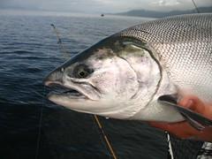 Alaskan Coho Salmon