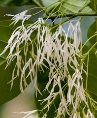 "IMG_5452: Fringe Tree • <a style=""font-size:0.8em;"" href=""http://www.flickr.com/photos/54494252@N00/16066973/"" target=""_blank"">View on Flickr</a>"