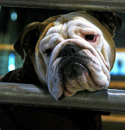 Why English Bulldogs Are One of the Most Admirable Pets on Earth