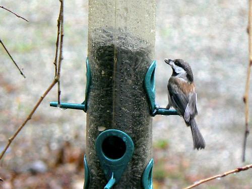 Chickadee at feeder in rain