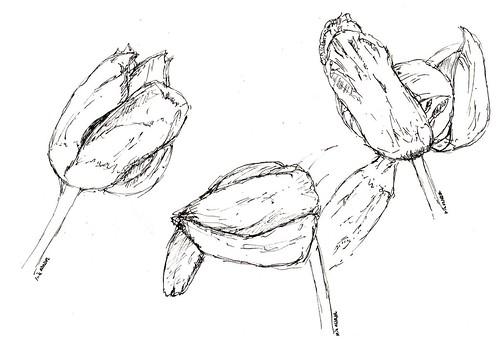 Verbluehte Tulpen