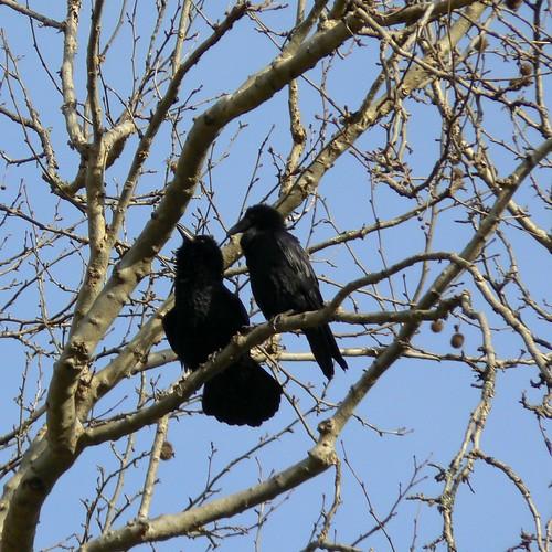 Raven Courtship