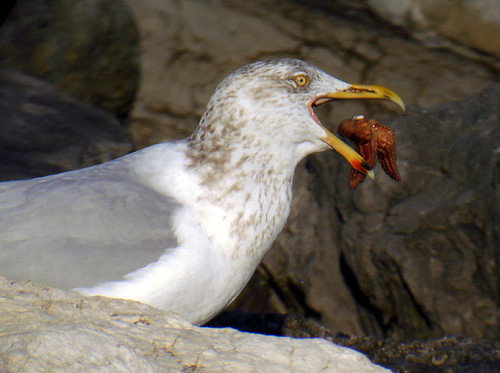 Herring Gull eating a starfish