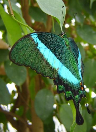 Green Moss Peacock