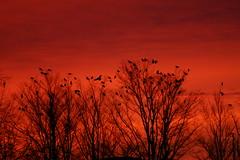 crows at dawn