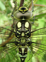 Southern Hawker, Filsham Reedbed