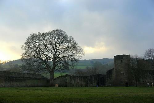 Ludlow oak