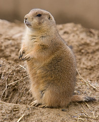 """IMG_3536: Prairie Dog • <a style=""""font-size:0.8em;"""" href=""""http://www.flickr.com/photos/54494252@N00/360061498/"""" target=""""_blank"""">View on Flickr</a>"""