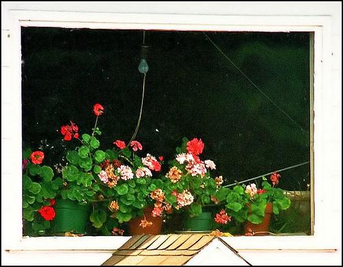 The winter geranium window by ..jolli.......