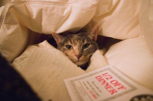 Cat in the comforter