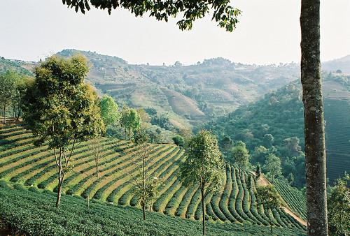 Mae Salong Tea Fields