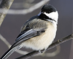 Chickadee by Jeremy Martin