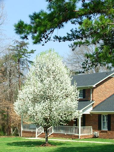 Cotton Ball Tree