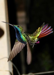 Beija-flor de veste preta by maracazani -Flickr