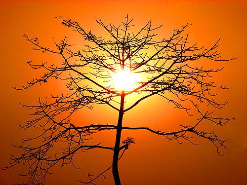 Stripped bombax tree silhouette
