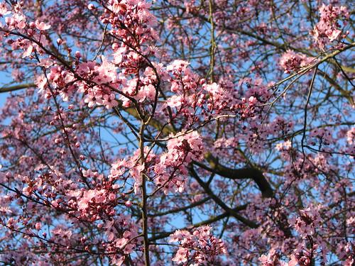 Ornamental Plum Tree 5