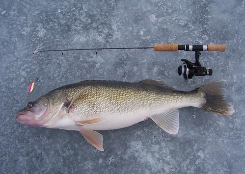 30 inch March River Walleye.jpg