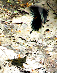 spicebush swallowtail shadow