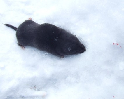 northern short-tailed shrew 1