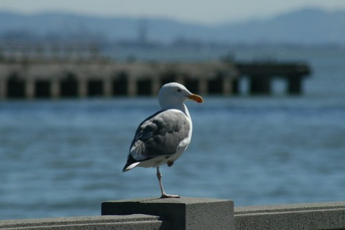 Spoiled Bay Area gull