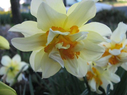 Frilly Daffodil 2