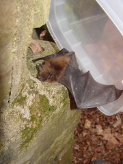 The release of the Little Brown Bat