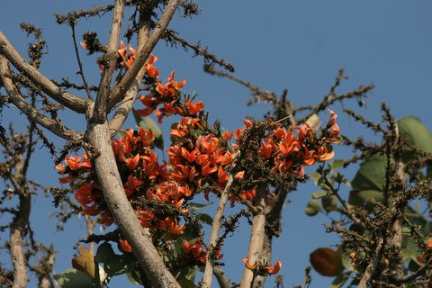 Palash (lac)  (Kumkum tree)flowers, Lalbagh 7 Mar 07