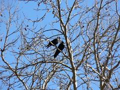 Ravens in Love
