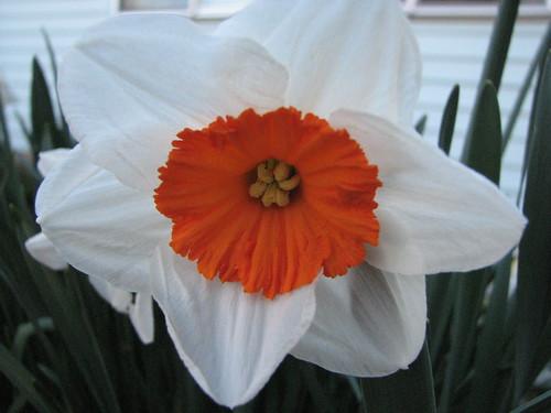 white and orange faffodil