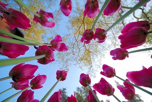 Tulips Carousel @ Descanso Gardens