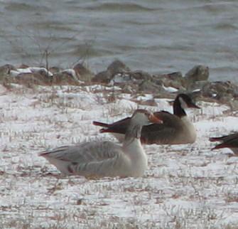 Snow goose 1