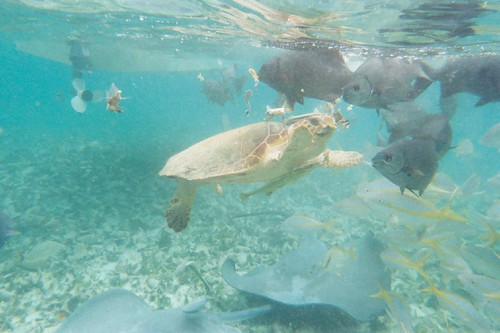 A turtle feeds on conch - Belize