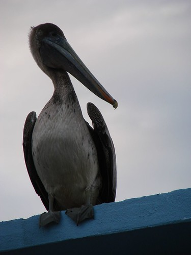 Brown Pelican #2