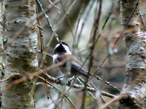Chickadee in the rain