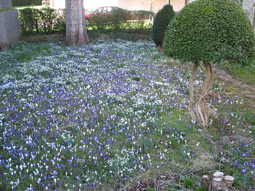 crocus_carpet