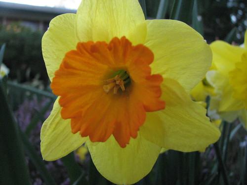 Yellow and orange daffodil