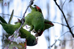Squabbling Mitred Conures