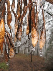 Redbud Pods Covered in Ice