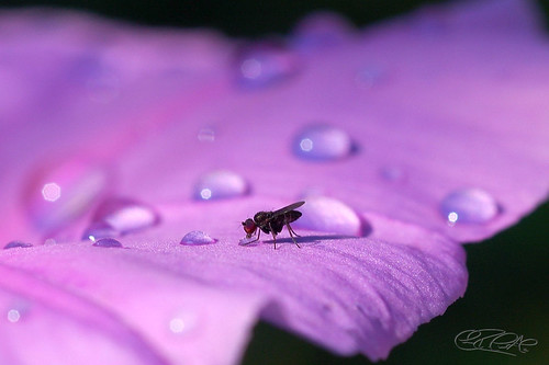 "Flickr - ""Thirsty Fly by Cesar R"""