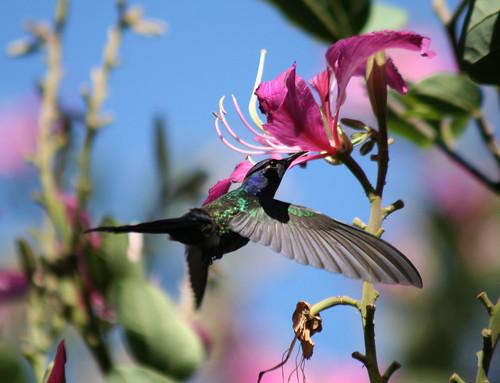 Beija-flor Tesoura ao lado de Uma Pata-de-vaca (Bauhinia variegata) - Swallow-tailed Hummingbird beside a Purple orchid tree 6 353 - 9 por Flávio Cruvinel Brandão.
