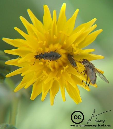 Coleópteros polinizando