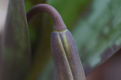 Trout Lily Bud Macro Using Reverse Lens