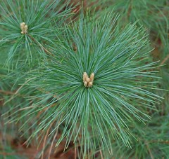 Eastern white pine buds & foliage. Click for a better view.