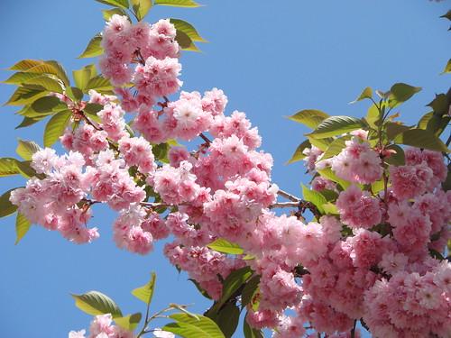 Arbres en fleurs