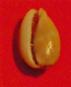 Vulva Cowrie