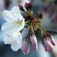 Bayport Blossom