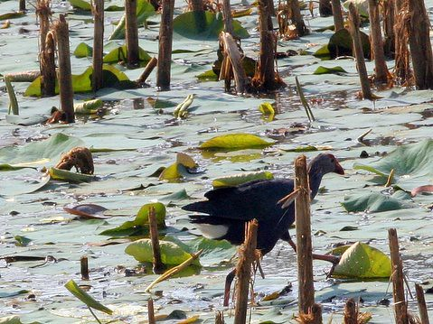 Purple Swamphen walking on Lily Pads