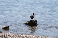 One-legged duck on a stone - Ouchy - Switzerland