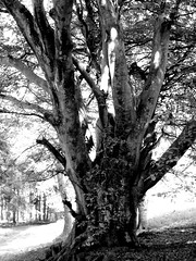 Beech Tree, black and white